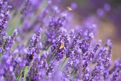 Bee on the lavender flower. Bee on the purple lavender flower on the field in Provence France. Can be used as cover photo or quotes background Stock Photo