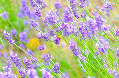 A bee with lavender Royalty Free Stock Image