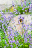 Bee on lavender flower Royalty Free Stock Photography