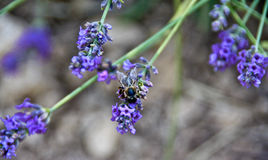 Bee on a lavender flower. On a field in Provence, France in july Royalty Free Stock Photo