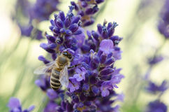 Bee on lavender flower. This foto of a bee on a lavender flower was made in my home garden in Erding (Bavaria) near Munich Royalty Free Stock Photo