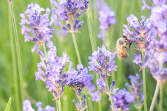 Bee on lavender flower Royalty Free Stock Photo