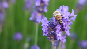 Bee on lavender flower stock footage