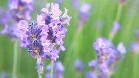 Bee on lavender flower stock footage