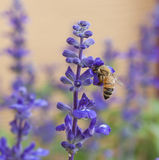 Bee on lavender flower in the garden Royalty Free Stock Image