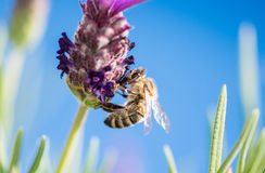 Bee on lavender flower. Gathering pollen Stock Photos