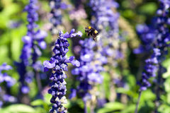 Bee and lavender flower Stock Photos