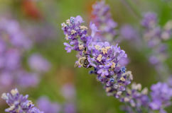 Bee on lavender flower Royalty Free Stock Images