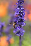Bee, lavender, flower, nature, insect, pollen, honey, plant, mac Royalty Free Stock Photos