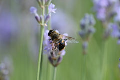 Bee on the lavender flower Royalty Free Stock Photos