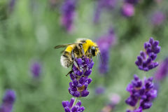 Bee on lavender flowers Stock Images
