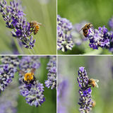 Bee on lavender flowers Stock Image