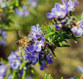 Bee on lavender flowers Royalty Free Stock Images