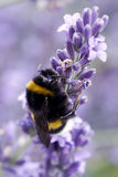 Bee on lavender Royalty Free Stock Photo