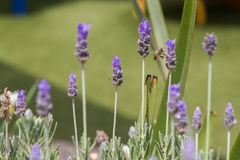 Bee. On a lavender green herb Royalty Free Stock Image