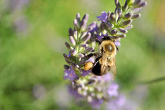 Bee on Lavender Stock Photography