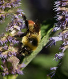Bee on Lavender Hyssop. Agastache foeniculum royalty free stock images