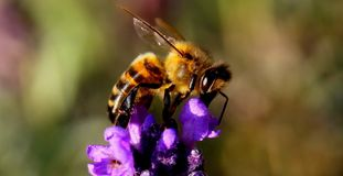 Bee, Lavender, Insect, Nature Stock Photos