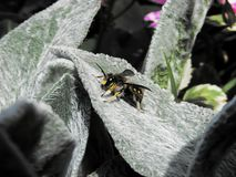 Bee on a lavender leaf royalty free stock photos