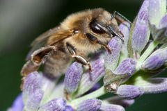 Bee on lavender Stock Image