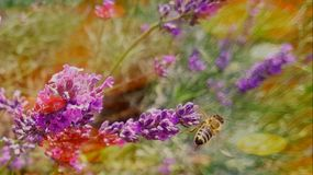 Bee lavender Royalty Free Stock Photos