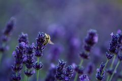 Bee In Lavender Plant Close up Macro royalty free stock photography