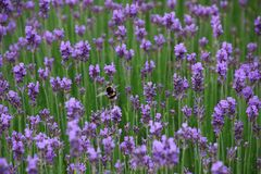 Bee and lavender Royalty Free Stock Photos