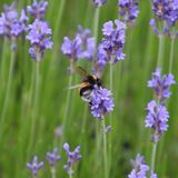 Bee and lavender. A bee is taking the pollens and nectar from the purple flower. Animal, flying insect, green spring time, aromatic spice smell, floral scent of Stock Photography