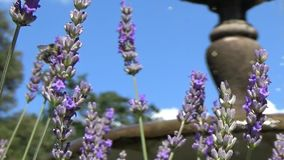 Bee on lavender stock video footage
