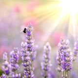 Bee on lavender stock images