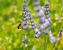 Bee on lavender in the sunlight Royalty Free Stock Photo