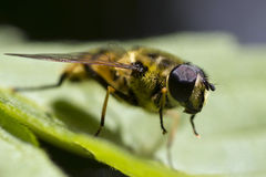 A bee on a leaf Stock Image
