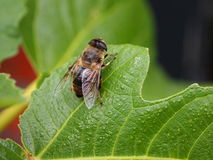 Bee on leaf Stock Photos