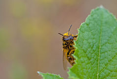 Bee on leaf Royalty Free Stock Images