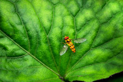 Bee on the leaf royalty free stock photo