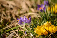 Bee leaves a crocus flower. After pollinating it stock photos