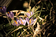 Bee leaves a crocus flower. After pollinating it royalty free stock photo