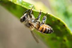 Bee on lemon leaf Stock Image