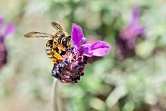 Bee on a levander Anouk stock image