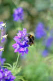 Bee on a levander Royalty Free Stock Photos