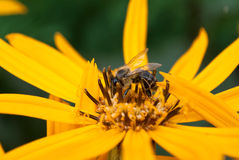 Bee on ligularia Royalty Free Stock Photography