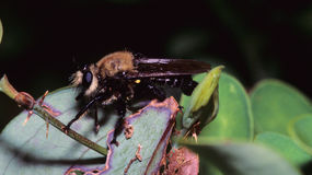 Bee-like Robber Fly Stock Photos