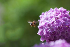 Bee and lilac. Stock Photography