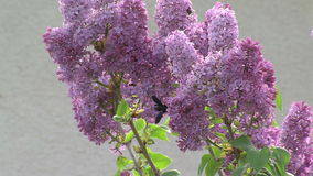 Bee on lilac flowers in the village of Anton in Bulgaria. Mountain village Anton - Bulgarian center of rural tourism, national rural architecture and a popular stock video