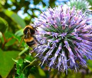 Bee on a lilac purple allium flower Royalty Free Stock Photos