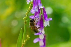 Bee on a  lilac (purple) flower . Macro of honey bee (Apis) on f Royalty Free Stock Photography