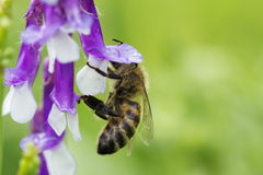 Bee on a  lilac (purple) flower . Macro of honey bee  on flower Royalty Free Stock Image