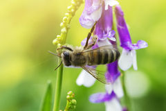 Bee on a  lilac (purple) flower . Macro of honey bee  on flower Royalty Free Stock Photo