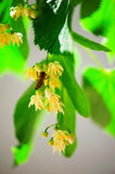 Bee on a lime tree Stock Photos