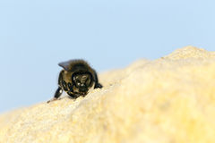 Bee on Limestone Royalty Free Stock Photos